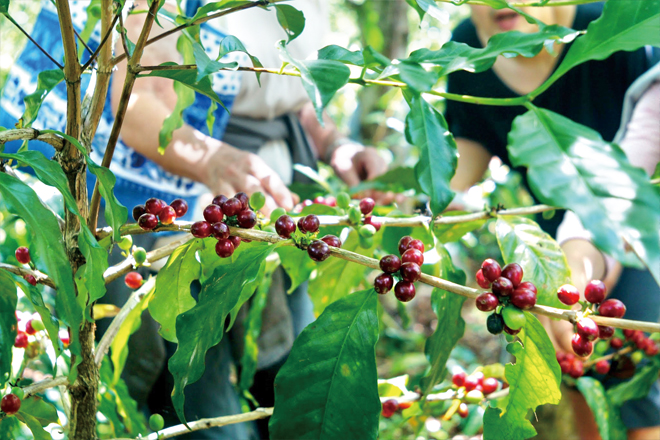 熟した赤いコーヒー豆を必粒ずつ手で摘むPick up ripe red coffee beans by hand