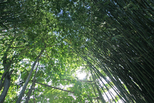 強い日差しを木々と竹が優しく遮る Bamboo and trees gently shield us from the hot sunlight