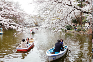 住みたい街として人気の吉祥寺駅前の井の頭公園は花見でも人気 Inokashira Park in front of Kichijoji station is popular for cherry blossom viewing or 'hanami'.