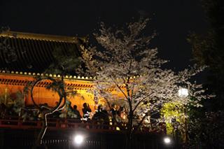 ライトアップされた桜の美しさが人々を魅了する  The beauty of illuminated cherry blossoms charm visitors.