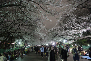 桜を愛でながらの会食は日本独自の習慣だが今では多くの外国人の姿も見られる Cherry blossoms viewing (Hanami) together with friends or family is a Japanese custom. Recently many foreigners can also be seen joining the revelry.
