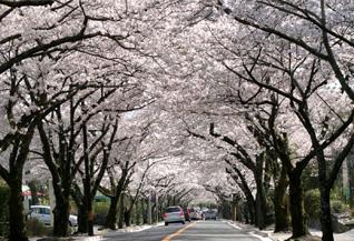 3. 伊豆高原桜まつり Izukogen Sakura festival